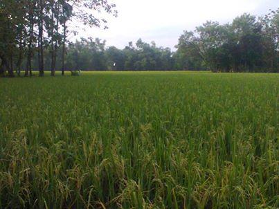 padi yang di serang Burung-burung emprit