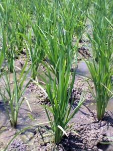 SEGAR LAGI; Tanaman padi yang tertolong ada air