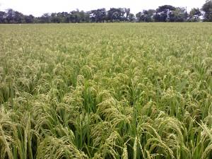 Lahan padi yang siap panen