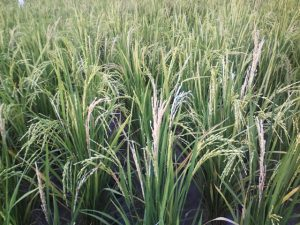 padi petani Desa Deru yang terserang potong leher